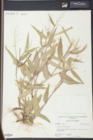 Image of Panicum ashei