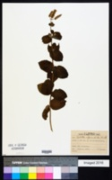 Mentha alopecuroides image
