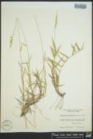 Urochloa ciliatissima image