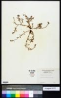 Polygonum bellardii image