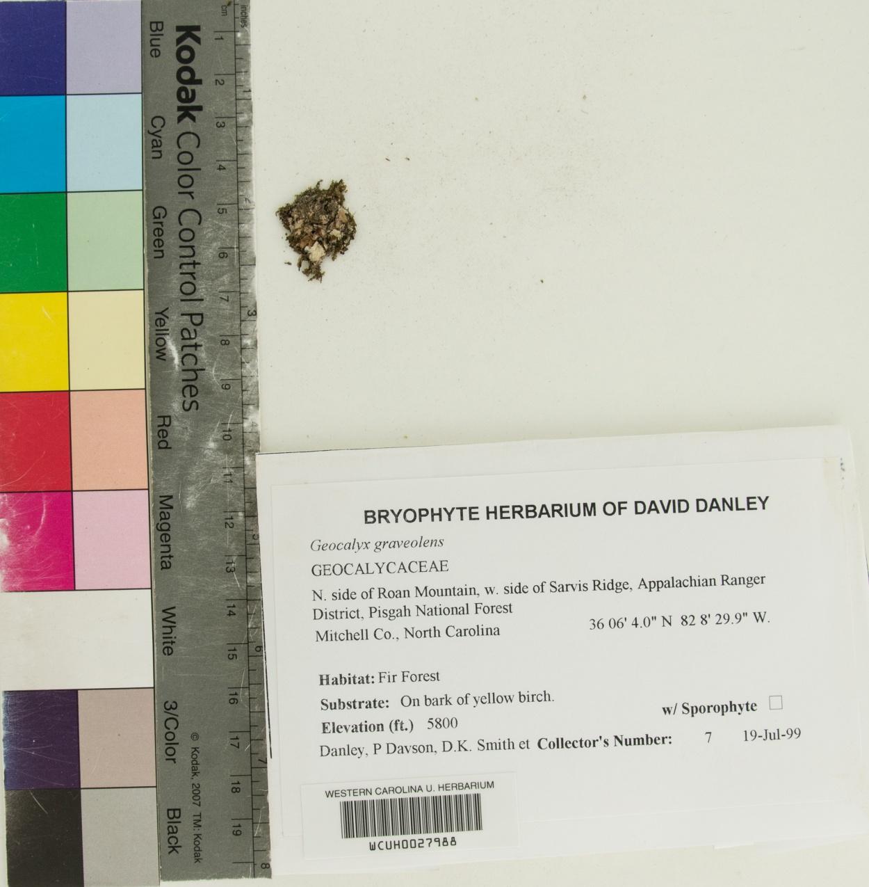 Geocalyx graveolens image