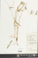 Image of Psilotrichum trichotomum