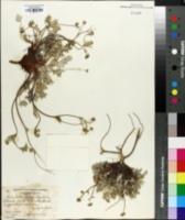 Image of Potentilla pulchella