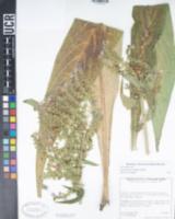Image of Echium pininana