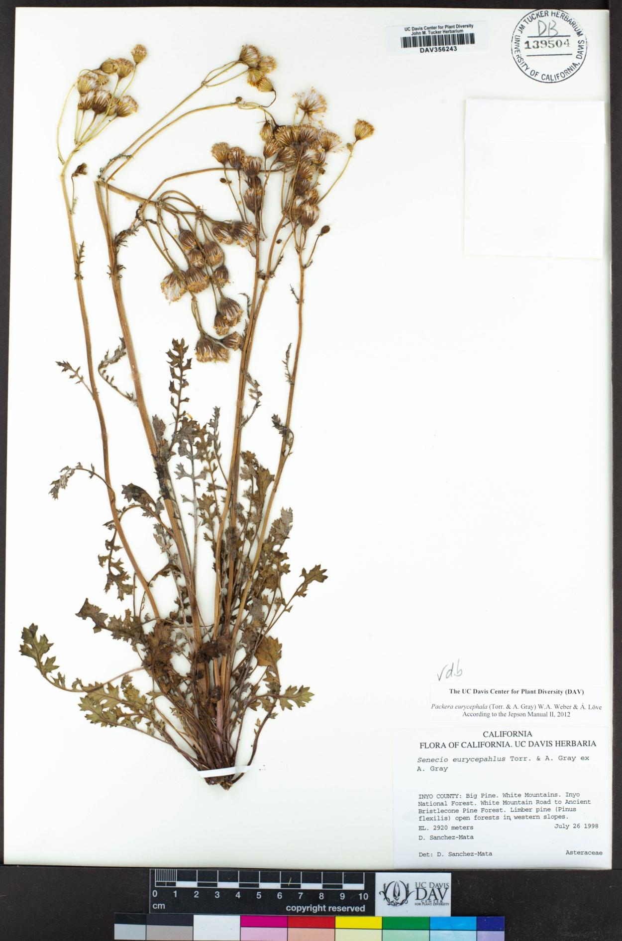 Packera eurycephala image