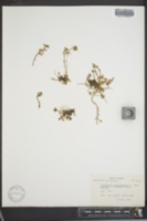 Cochlearia officinalis subsp. arctica image