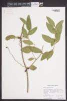 Smilax smallii image