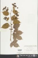 Image of Rubus leucanthus