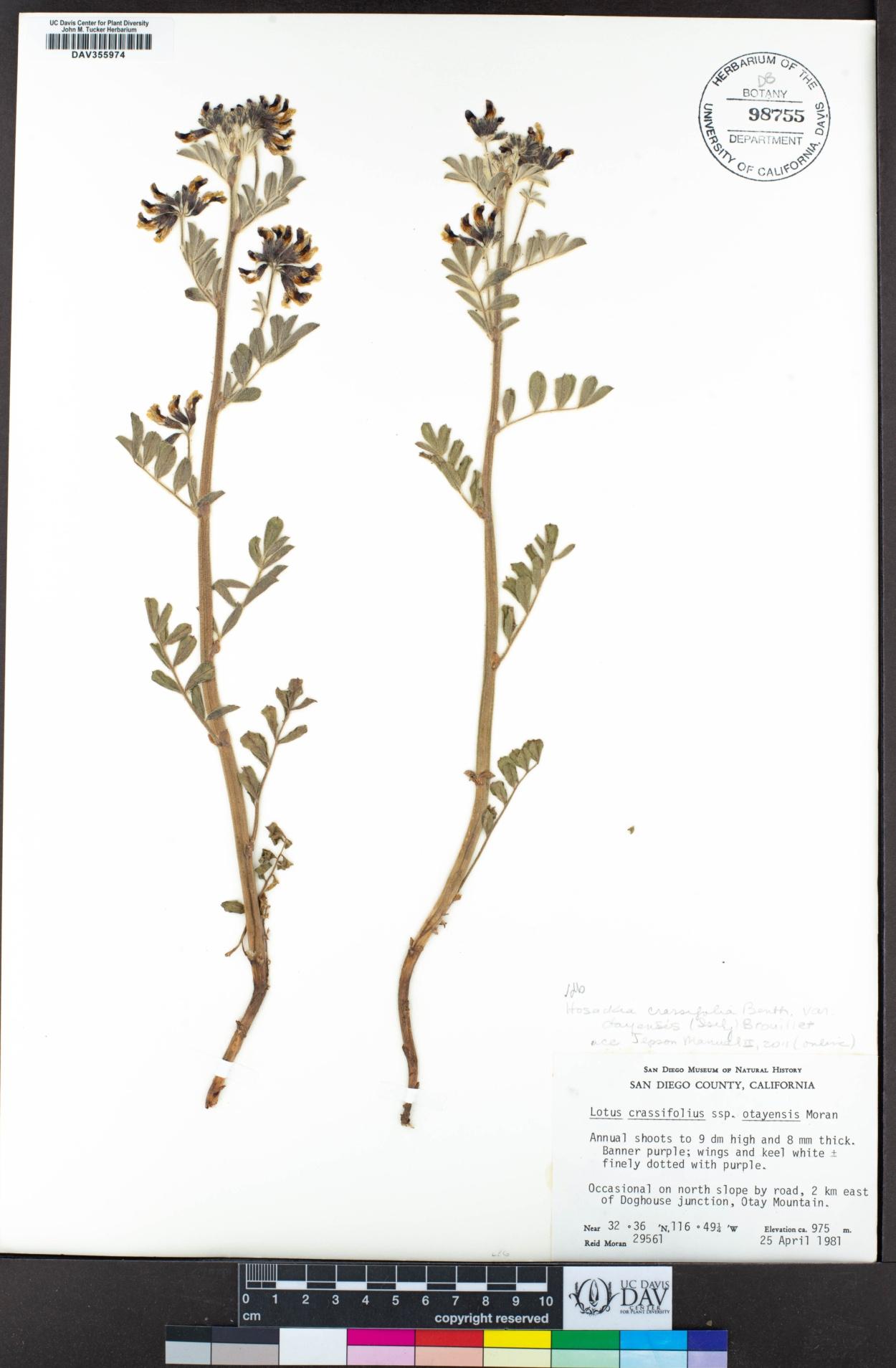 Hosackia crassifolia var. otayensis image