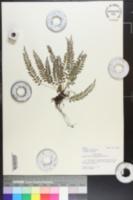 Image of Polystichum formosanum