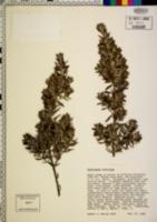 Westringia fruticosa image