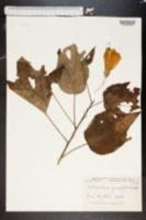 Malvastrum grandiflorum image