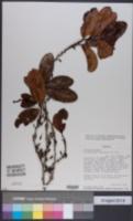 Erythroxylum suberosum image