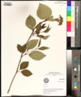 Viburnum alabamense image