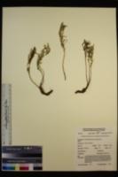 Artemisia norvegica subsp. saxatilis image