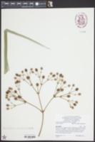 Image of Eryngium pandanifolium