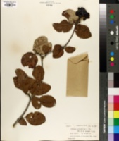 Viburnum cotinifolium image