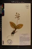Liparis liliifolia image