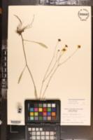 Coreopsis linifolia image