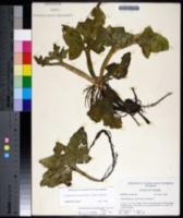 Ceratopteris pteridoides image