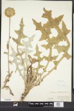 Echinops sphaerocephalus image