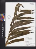 Pteris grandifolia image