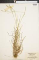 Bromus anomalus image
