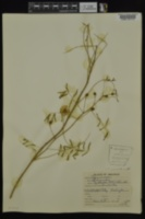 Mimosa nuttallii image
