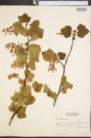 Image of Ribes glutinosum