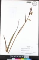 Calochortus albus image