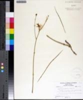 Lygodesmia aphylla image