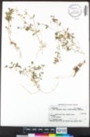Stellaria media image