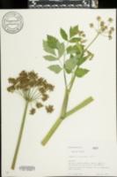 Angelica triquinata image