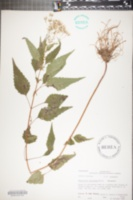 Eupatorium serotinum image