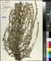 Image of Artemisia gnaphaloides