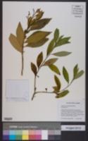 Image of Solanum stenophyllum