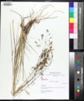 Image of Deschampsia brevifolia