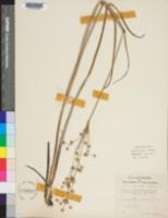 Image of Juncus platycephalus