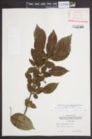 Image of Pyrus pulcherrima