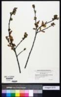 Image of Salix aurita