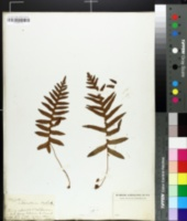 Image of Polypodium calirhiza