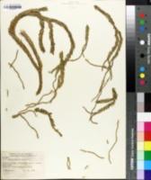 Lycopodium phlegmaria image