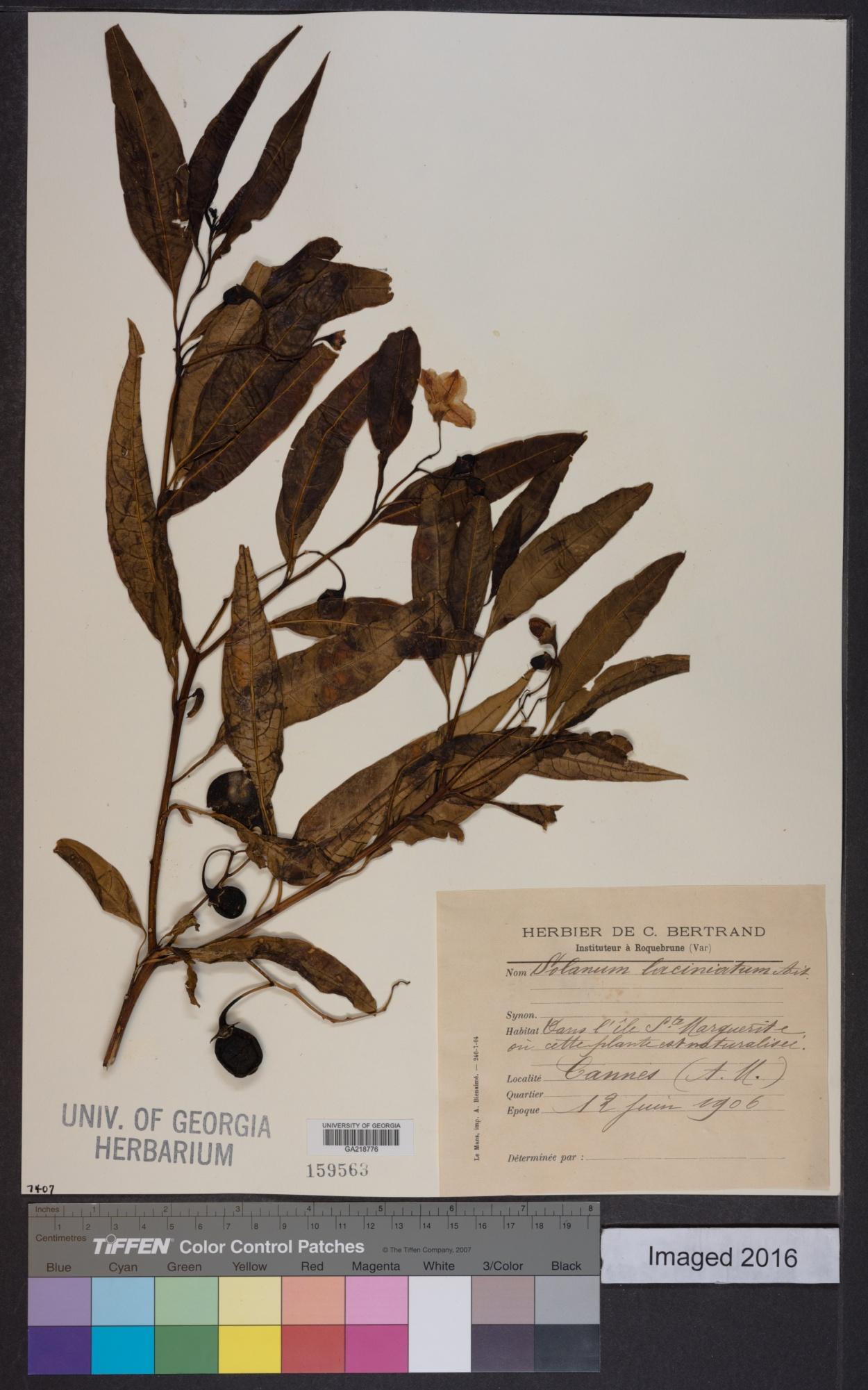 Solanum aviculare image