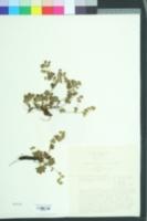 Image of Alchemilla glaucescens