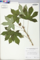 Kalopanax pictus image