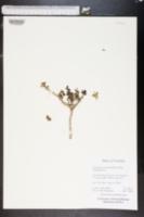 Image of Zygophyllum clavatum