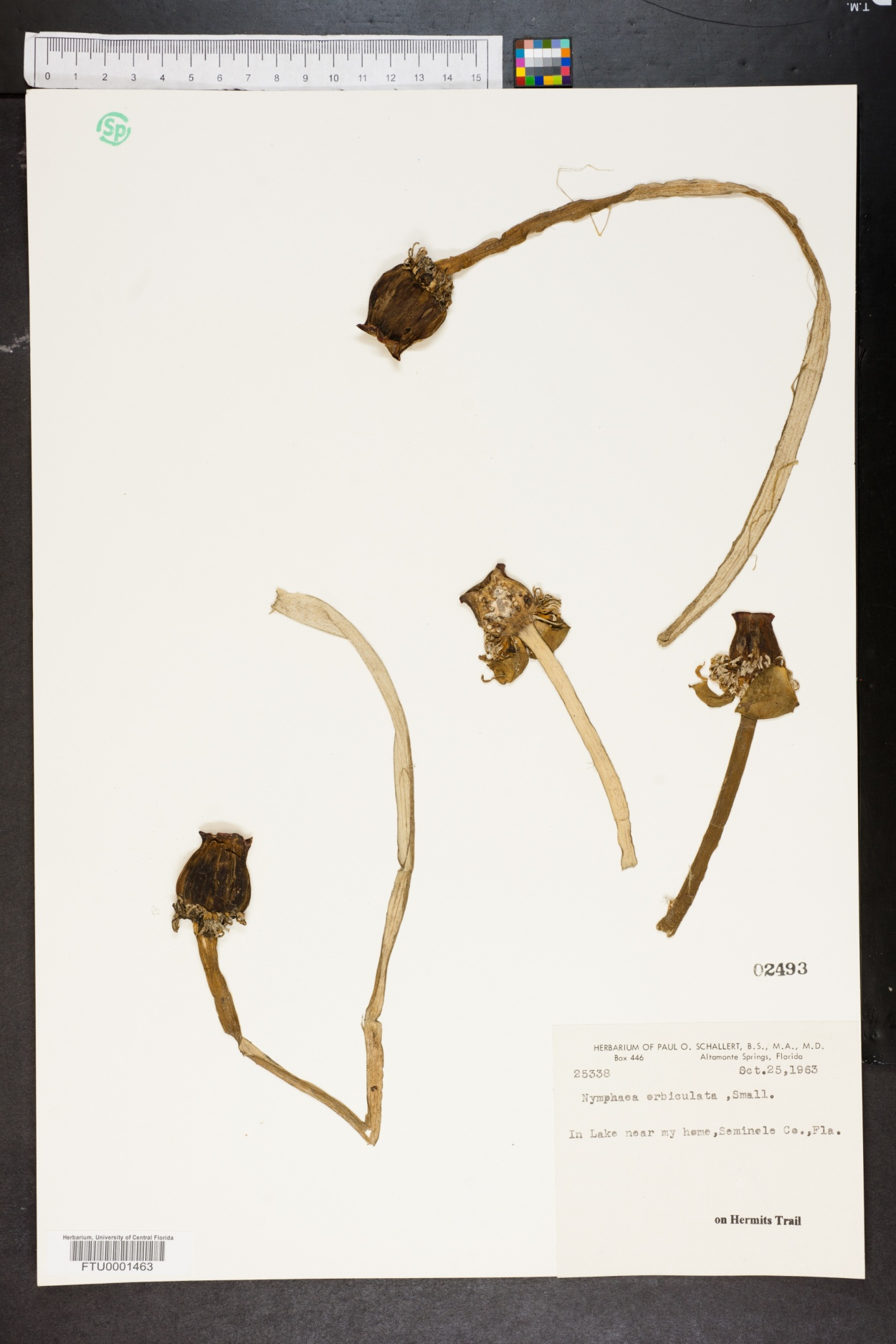 Nymphaea orbiculata image