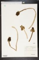 Image of Nymphaea orbiculata