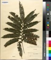 Image of Adiantum pulverulentum