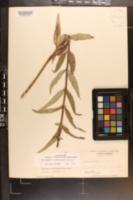 Image of Helianthus schweinitzii